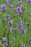 Busy Bees in spring flowers collecting nectar. Ã'Â«Beautiful summer colors and busy bees collecting nectar royalty free stock images