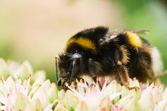 Busy being a bumble bee Royalty Free Stock Images