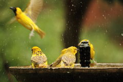 Busy bird bath. A variety of bright yellow wild birds taking a bath, cooling of in the heat of the day Stock Images