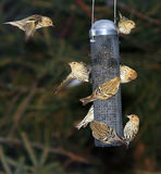 Busy bird feeder  Royalty Free Stock Photography