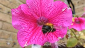 Busy bumble bee. Hd video content of busy bumble bee collecting pollen from a pink petunia stock video