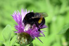Busy bumblebee at work with flower. Centaurea Scabiosa L or greater knapweed of the genus Centaurea. Bumblebee full of pollen collecting nectar in the garden stock photos