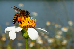 Busy buzzing bee Royalty Free Stock Photography