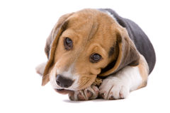 Busy chewing. Adorable young beagle pup chewing on it's bone Stock Photos