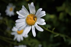 Busy English Daisy. Beetle, Fly, and Spider royalty free stock photo