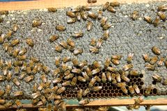 Busy farmed worker bees on honeycomb panel Stock Images
