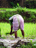 Busy Farmer. A lady farmer working in the paddy fields of India Stock Photography