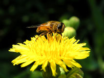 Busy fly. A fly gathering nectar from a blossom royalty free stock photography