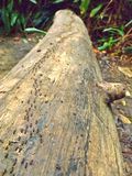 Forest ants - Bukit Timah Nature Reserve. A long column of ants scurrying along a fallen tree trunk in the tropical rainforest of Bukit Timah Nature Reserve Royalty Free Stock Photography