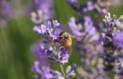 A busy Honey Bee Apis mellifera collecting pollen from a lavender flower. royalty free stock photography