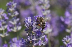 A busy Honey Bee Apis mellifera collecting pollen from a lavender flower. Stock Image