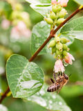 Busy honey bee - flowers of snowberry Royalty Free Stock Image
