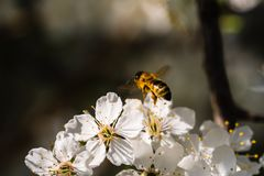 Honney bee harvesting the pollen royalty free stock images