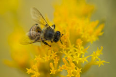 Busy Honey Bee on a Yellow Flower Macro Royalty Free Stock Photo