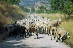 Busy Hour. A herd of sheep going back to the fold on a hot July evening Royalty Free Stock Photo
