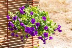 Busy Lizzie flowers. Beautiful purple Stock Photos