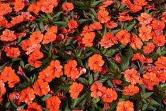 Free Busy Lizzie. Summer Flowers Orange Impatiens Walleriana. Stock Photos - 139993053