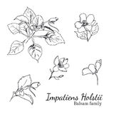 Busy Lizzy parts of plant sketches set. Balsam family. Impatiens Holstii Royalty Free Stock Image