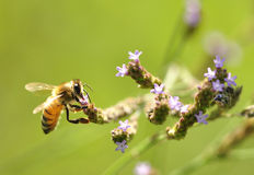 Busy making honey Royalty Free Stock Photography