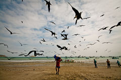 Busy morning with frigate birds attracted by the Royalty Free Stock Photos