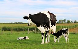 Holstein cow on pasture with her new born calves stock photo