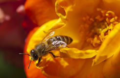 Busy Pollinating Bee Royalty Free Stock Photo