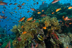 Busy Reef Royalty Free Stock Photo
