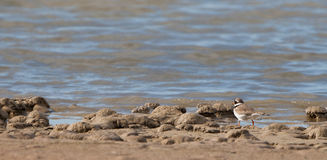 A busy Ringed Plover on patrol Royalty Free Stock Photos