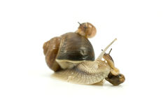 Busy snails family Royalty Free Stock Images