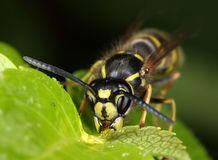 Busy wasp eating nectar macro Royalty Free Stock Photo