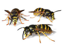 Busy wasps on white Royalty Free Stock Photo