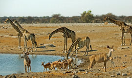 A busy waterhole in Etosha with giraffe, springbok  and Kudu Stock Photo