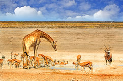 A Busy waterhole in Etosha Stock Images
