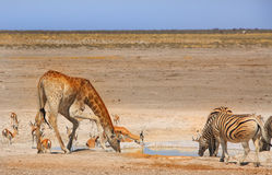 A busy waterhole in Etosha National Park Royalty Free Stock Photos