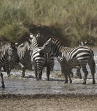 Busy Waterhole Zebras Stock Image