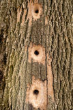 Busy Woodpecker - Tree Holes Royalty Free Stock Photos