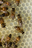 Busy worker bees Stock Image