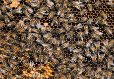 Busy worker bees inside hive, detail Stock Image