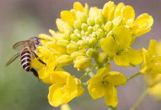 Busy working bee. A single bee is working on yellow rape flowers.Its bum and wing can be seen clearly.Taken in spring time Royalty Free Stock Photo