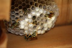 busybees Imagem de Stock
