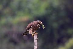 butastur肉食面对灰色鹰indicus 免版税库存照片