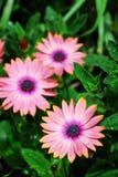 butchart κήποι λουλουδιών Στοκ Εικόνες