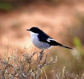 Butcher Bird. Also known as Laksman (executioner) in Afrikaans Stock Photography