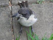 Butcher bird Stock Photos