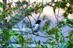 Butcher Bird. Feeding at the garden in an afternoon Royalty Free Stock Image