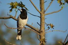 Butcher Bird Royalty Free Stock Photo