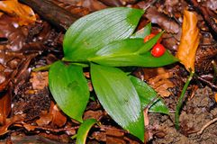Butcher's Broom (Ruscus hypoglossum). Leaves and fruits of Butcher's Broom (Ruscus hypoglossum Stock Photo