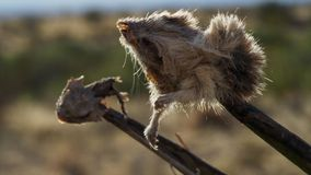 Butcherbird использует позвоночники как мясник использует его крюк для удержания своей добычи по мере того как она расчленяет ее стоковое фото