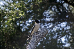 Butcherbird подпертый серебром Стоковое Изображение RF