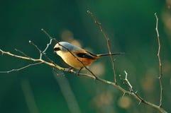 Butcherbird auf Niederlassung Lizenzfreie Stockfotografie